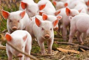 注意!非洲猪瘟进入缅甸,佤邦、勐拉已有生猪被感染