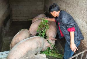 巧家新店这个养殖农民专业合作社生态养猪实现订单销售