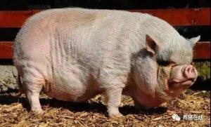 【技术】养猪一定要狠!这种猪不淘汰每天亏你几百块!
