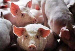 一个小散户关于非洲猪瘟与未来出路的思考