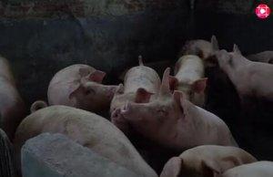 农民冒着台风雨喂猪,全部卖完有二十多万,老板最高就给十一块四