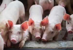 2019年7月温氏、牧原、正邦、大北农等12家上市公司生猪销售公布 新希望跃居前四
