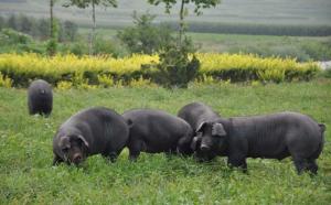 """敲锣放养""""跑山猪"""" 山林养黑猪收益好"""