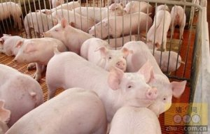 【技术】夏季猪容易中暑,防治措施有哪些?