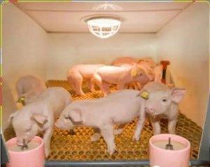猪场免疫失败的种种原因分析及对策